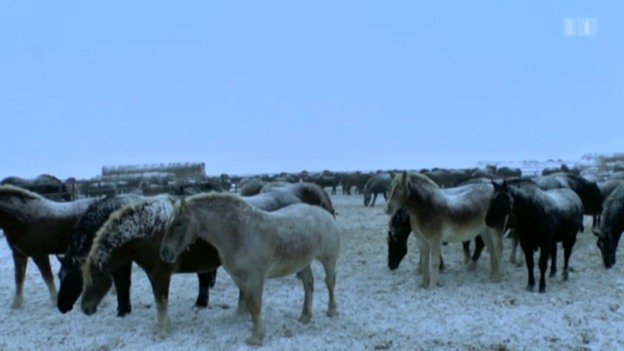 Video «19.02.13: Tierquälerei auf Pferdefarmen: Erbarmungslose Fleischproduktion» abspielen