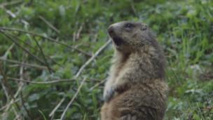 Video ««SRF bi de Lüt – Wunderland»: Ein Murmeli-Best of zur 5. Folge» abspielen
