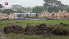 Video «Kenia verbrennt Elfenbein» abspielen