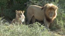 Link öffnet eine Lightbox. Video Pätagei in Südafrika - Löwen abspielen