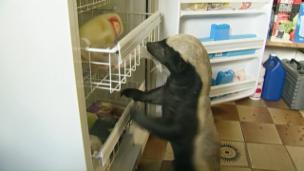 Link öffnet eine Lightbox. Video NETZ NATUR «Honigdachs - frecher geht's nicht!» abspielen.