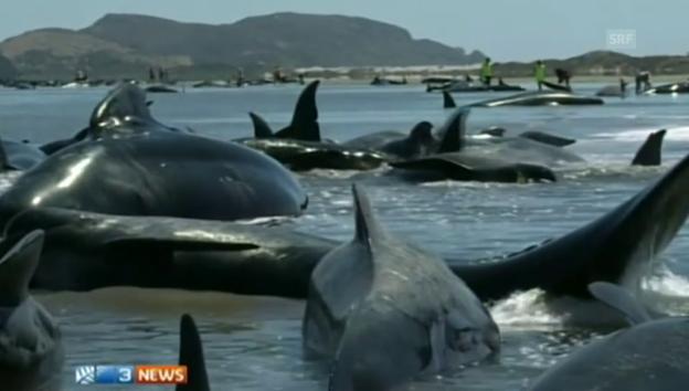 Video «Gestrandete Wale in Neuseeland» abspielen