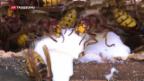 Video «Wahrheit über Wespen» abspielen