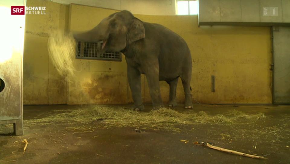 Schwieriger Ultraschall-Untersuch bei trächtiger Elefanten-Kuh