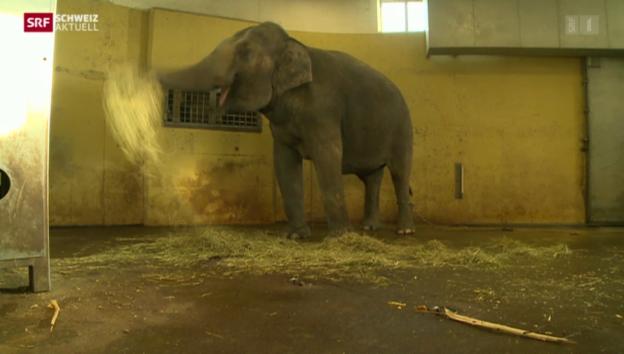 Video «Schwieriger Ultraschall-Untersuch bei trächtiger Elefanten-Kuh» abspielen