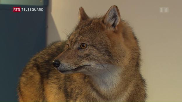 Laschar ir video «Il schacal mellen – dal guaud en Surselva en il museum da la natira a Cuira»