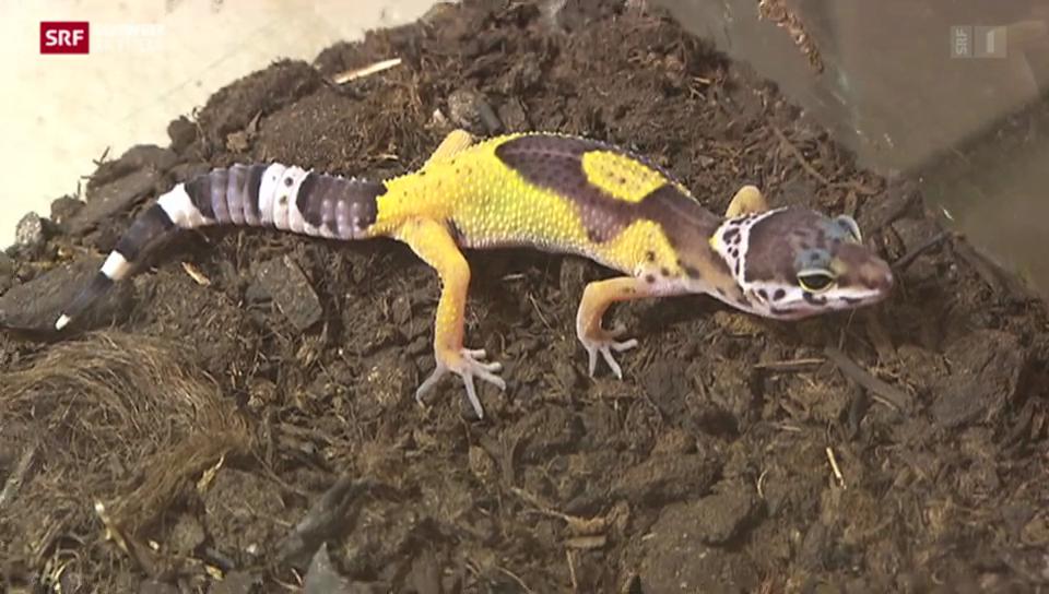 Geckos im Papiliorama