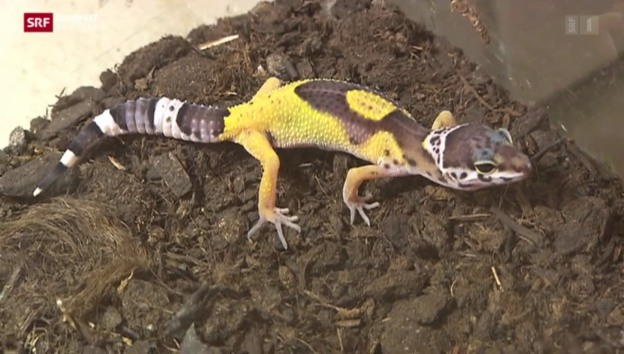 Video «Geckos im Papiliorama» abspielen