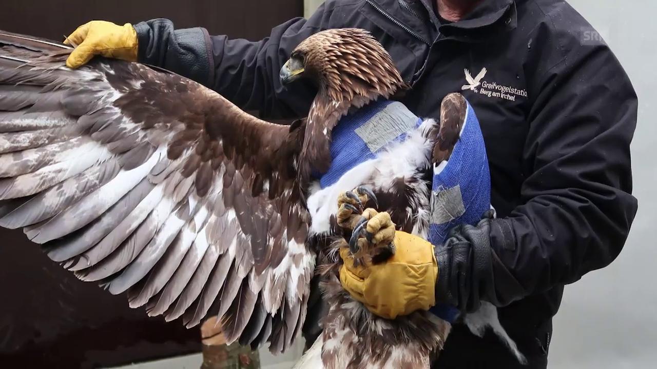 Verletztes Steinadler-Weibchen gerettet