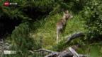 Video «Jungwölfe zum Abschuss freigegeben» abspielen