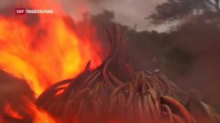 Video «Kenia verbrennt über 100 Tonnen Elfenbein » abspielen
