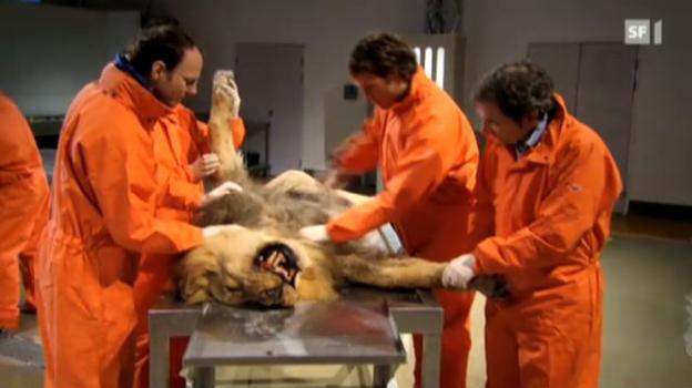 Video «Löwe unter dem Messer» abspielen