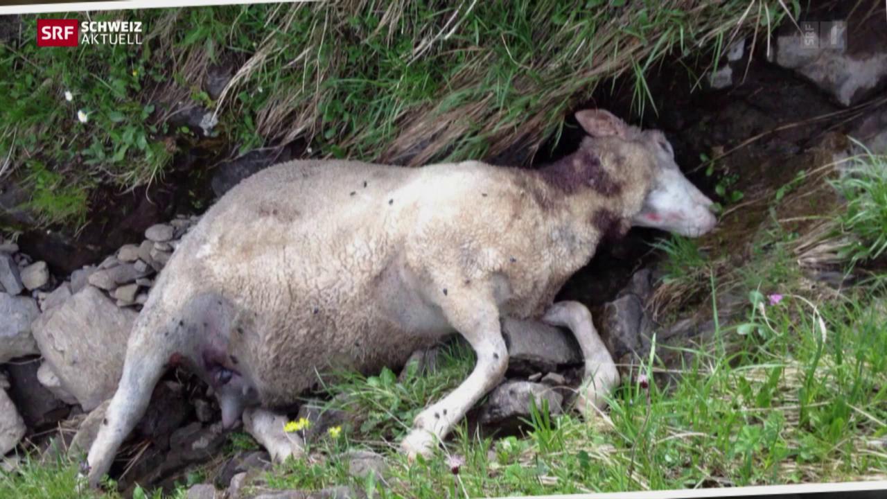 Wolf reisst 15 Schafe auf Urner Alp