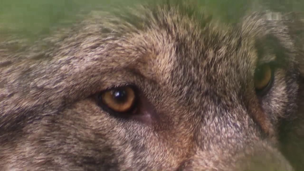 NETZ NATUR «Die vielen Wölfe der Schweiz» (Schweizerdeutsch)