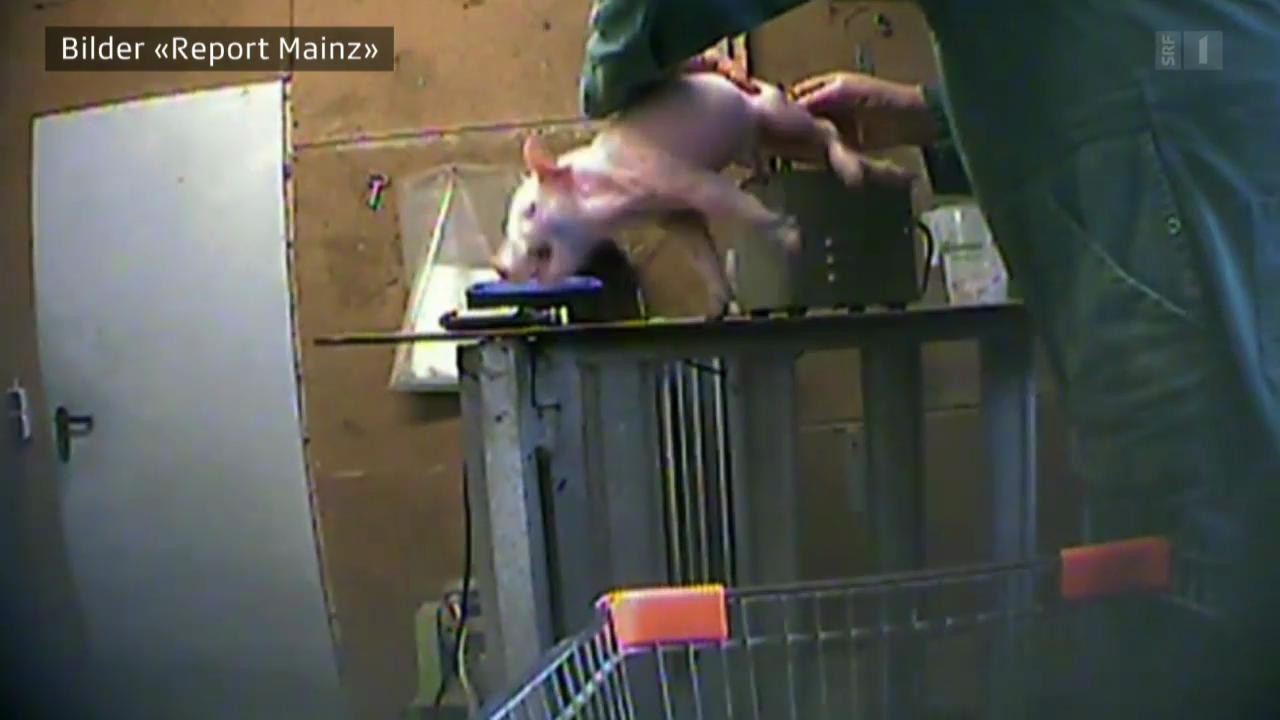 Sortiert und brutal erschlagen (Verdeckte Aufnahmen aus deutschen Schweinezuchten)