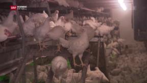 Video «Eingesperrte Hühner wegen Vogelgrippe» abspielen