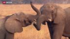 Video «Auf den Spuren des Elfenbeins» abspielen