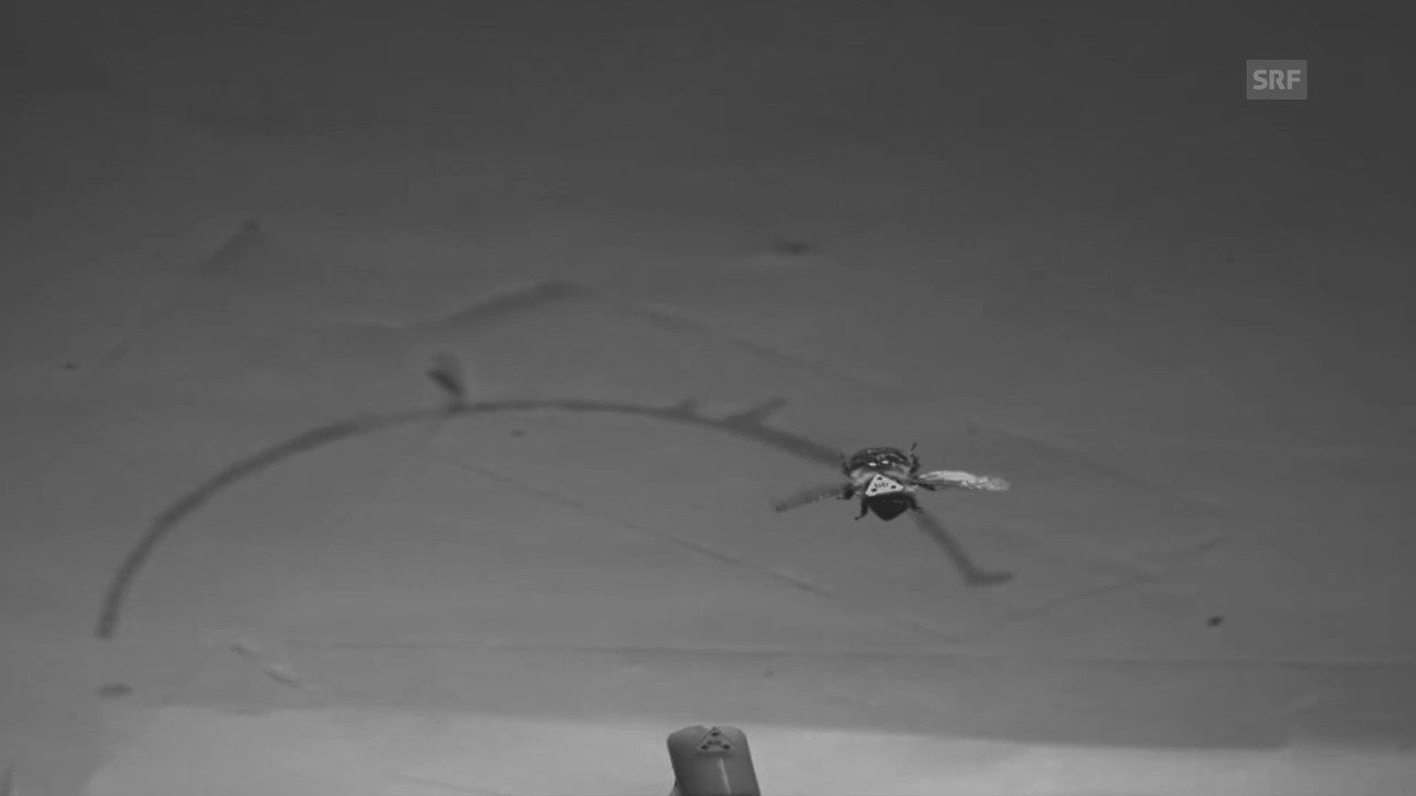 Lande-Anflug einer Hummel in Zeitlupe (Video courtesy of A. Mountcastle)