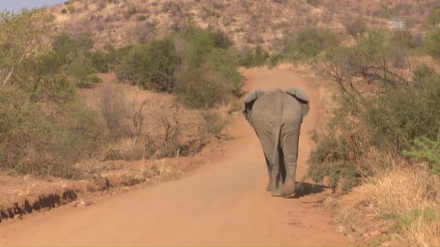 Video «Unterwegs für den Elefantenschutz in Südafrika» abspielen
