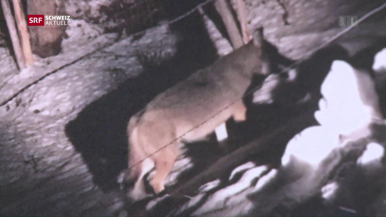 Wolf mitten in Bulle