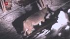 Video «Wolf mitten in Bulle» abspielen