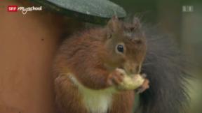 Video «Kampf der Hörnchen (1/3)» abspielen