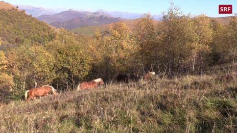 Link öffnet eine Lightbox. Video Tessiner Wildpferde tollen im warmen Herbst abspielen