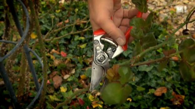 Video «04.10.11: Welche Gartenscheren gut abschneiden» abspielen