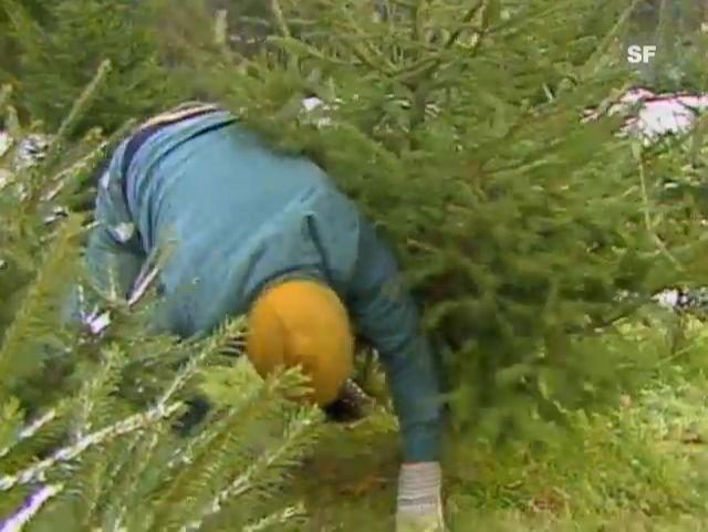 Weihnachtsbäume in Zeiten des Waldsterbens