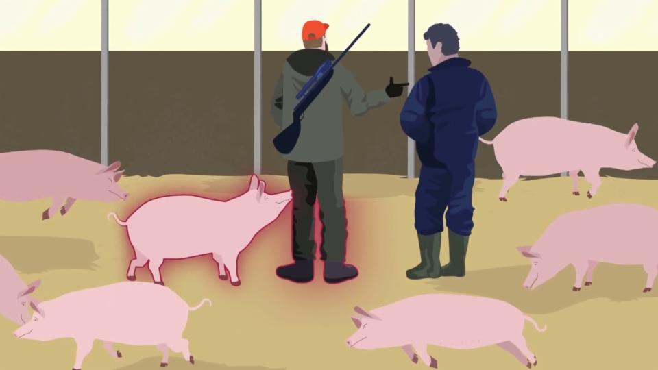 Die Übertragung der afrikanischen Schweinepest