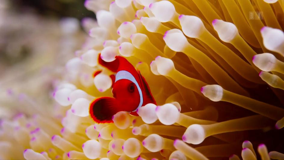 Video «Unser blauer Planet – Die Korallenriffe (3/7)» abspielen