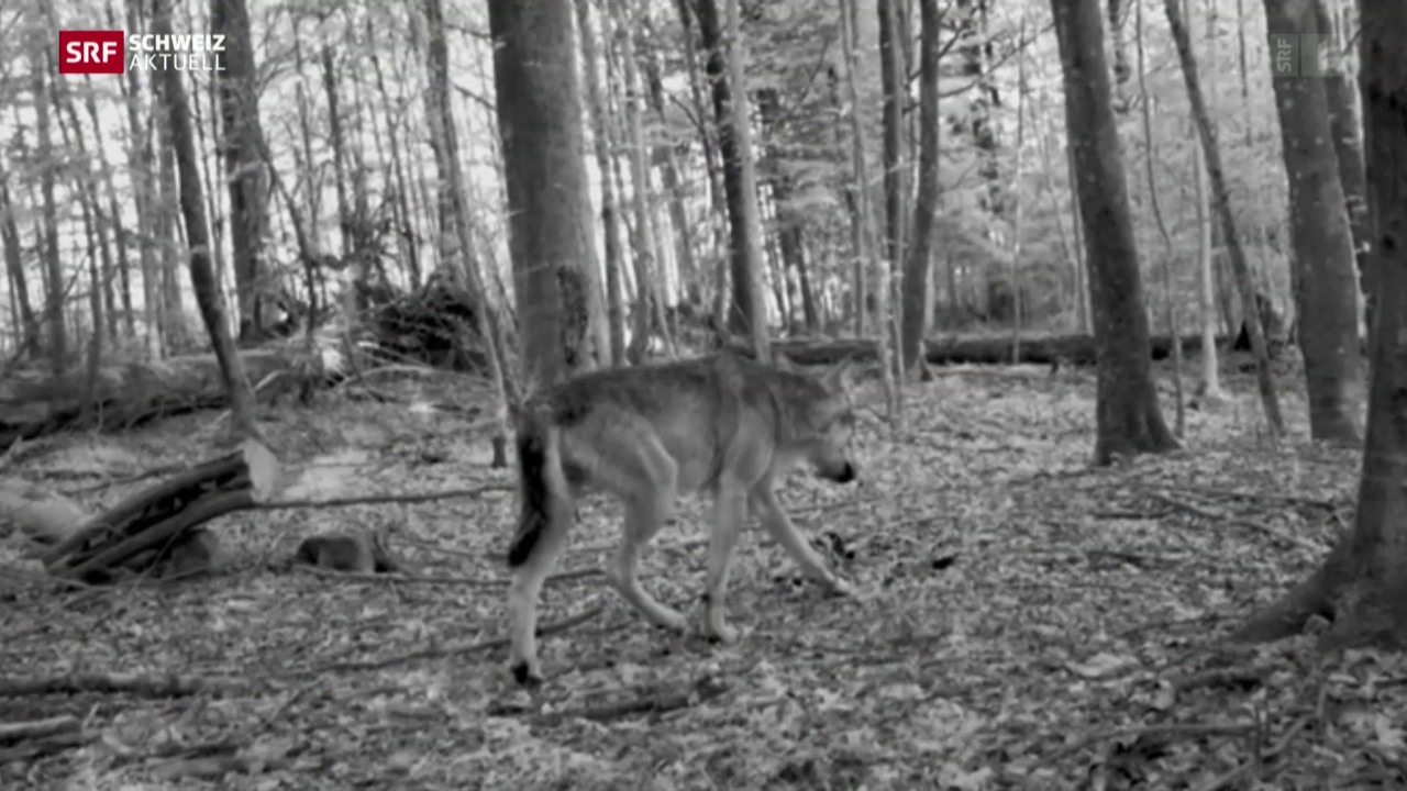 Wieder ein Wolf im Kanton Zürich