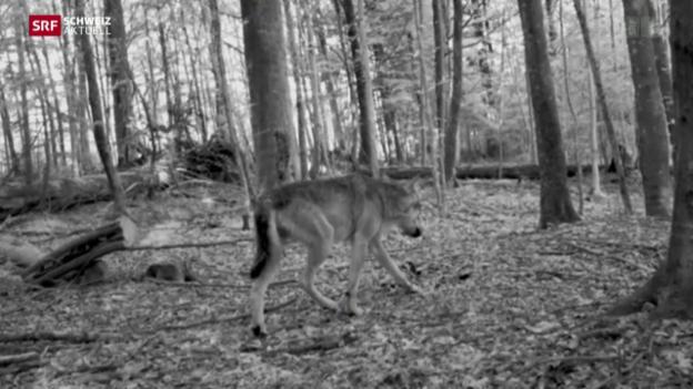 Video «Wieder ein Wolf im Kanton Zürich» abspielen