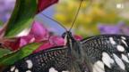 Video «Tal der Schmetterlinge» abspielen