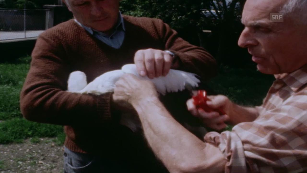 1984: Max Bloesch zeigt, wie er Flügel stutzt