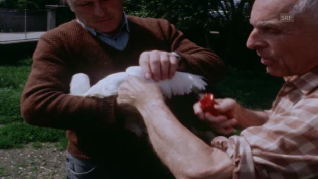 Video «1984: Max Bloesch zeigt, wie er Flügel stutzt» abspielen