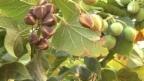 Video «Jatropha - eine Biotreibstoff-Hoffnung» abspielen