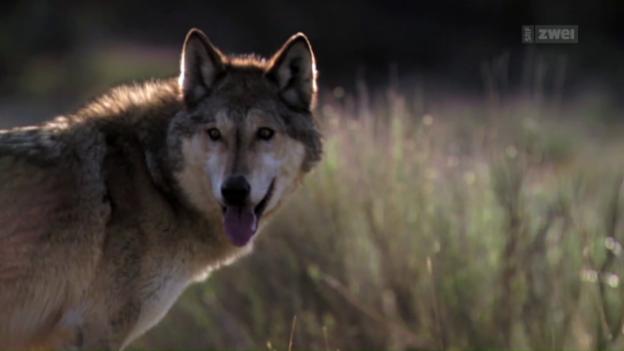 Video «Wolf» abspielen