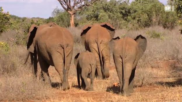 Video «Ein Elefantengedächtnis» abspielen