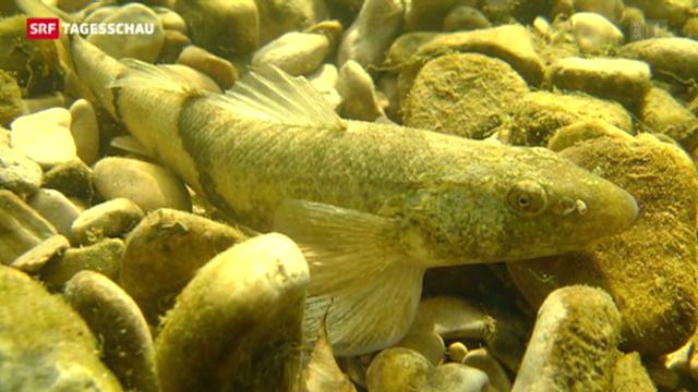 Fisch des Jahres 2013