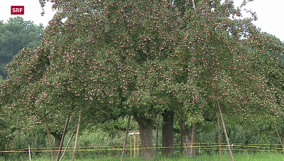 Reiche Apfelernte erwartet