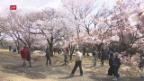 Video «Japanische Kirschblüten» abspielen