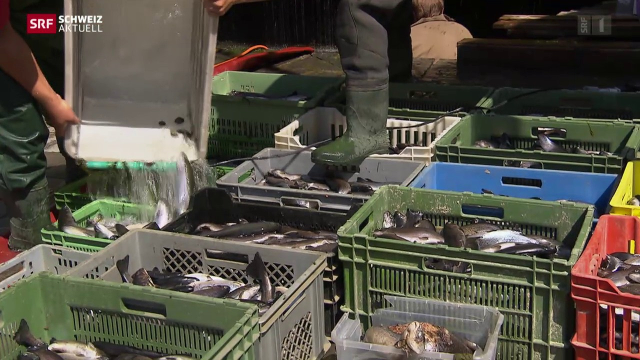 Fischsterben wegen Sanierungsarbeiten