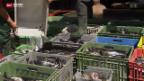 Video «Fischsterben wegen Sanierungsarbeiten» abspielen