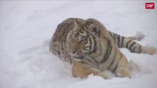 Link öffnet eine Lightbox. Video Tiger vs. Drohne abspielen