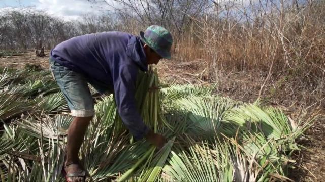 Carnauba Aus Brasilien Sklavenarbeit Unter Palmen Schuften Für
