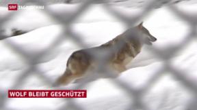 Video «Wolf in der Schweiz bleibt geschützt» abspielen