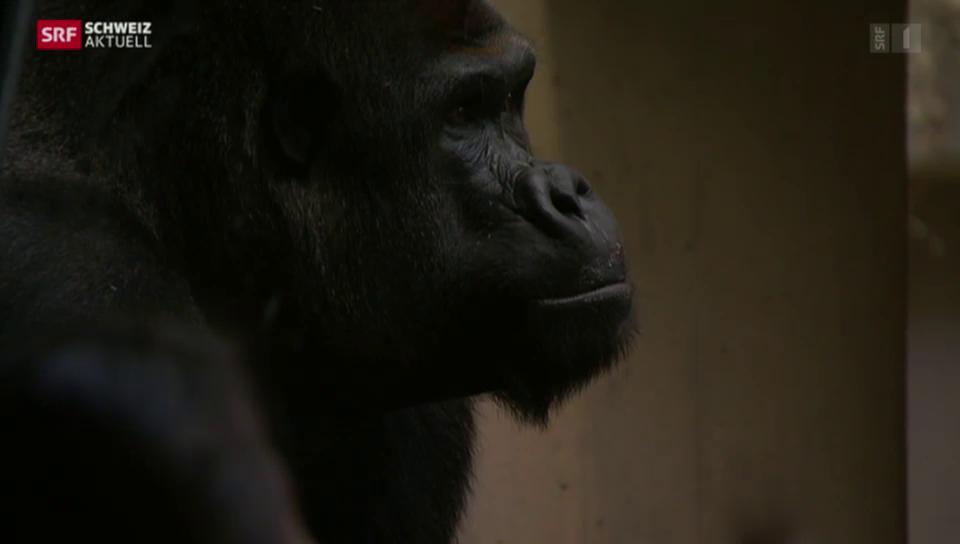 Verletzter Gorilla