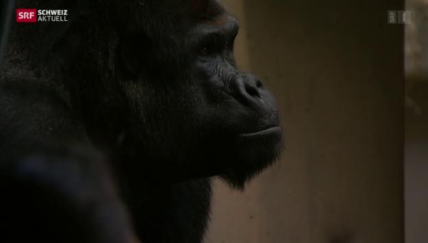 Video «Verletzter Gorilla» abspielen
