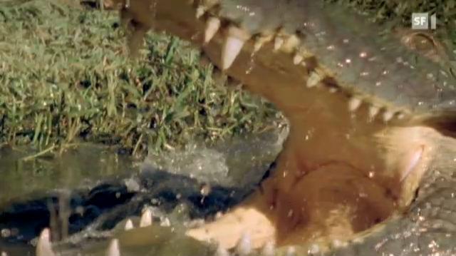 Krokodil unter dem Messer